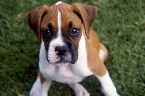 Con ojos de pícara y alegría infinita, esta cachorrita conquistó el corazón de su hogar Herediano.