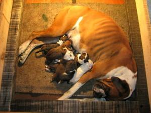 Laska fue una excelente mamá. Disfrutamos mucho de verla cuidar a sus 10 cachorros y estamos muy contentos de que todos estén en hogares felices alrededor de Costa Rica.