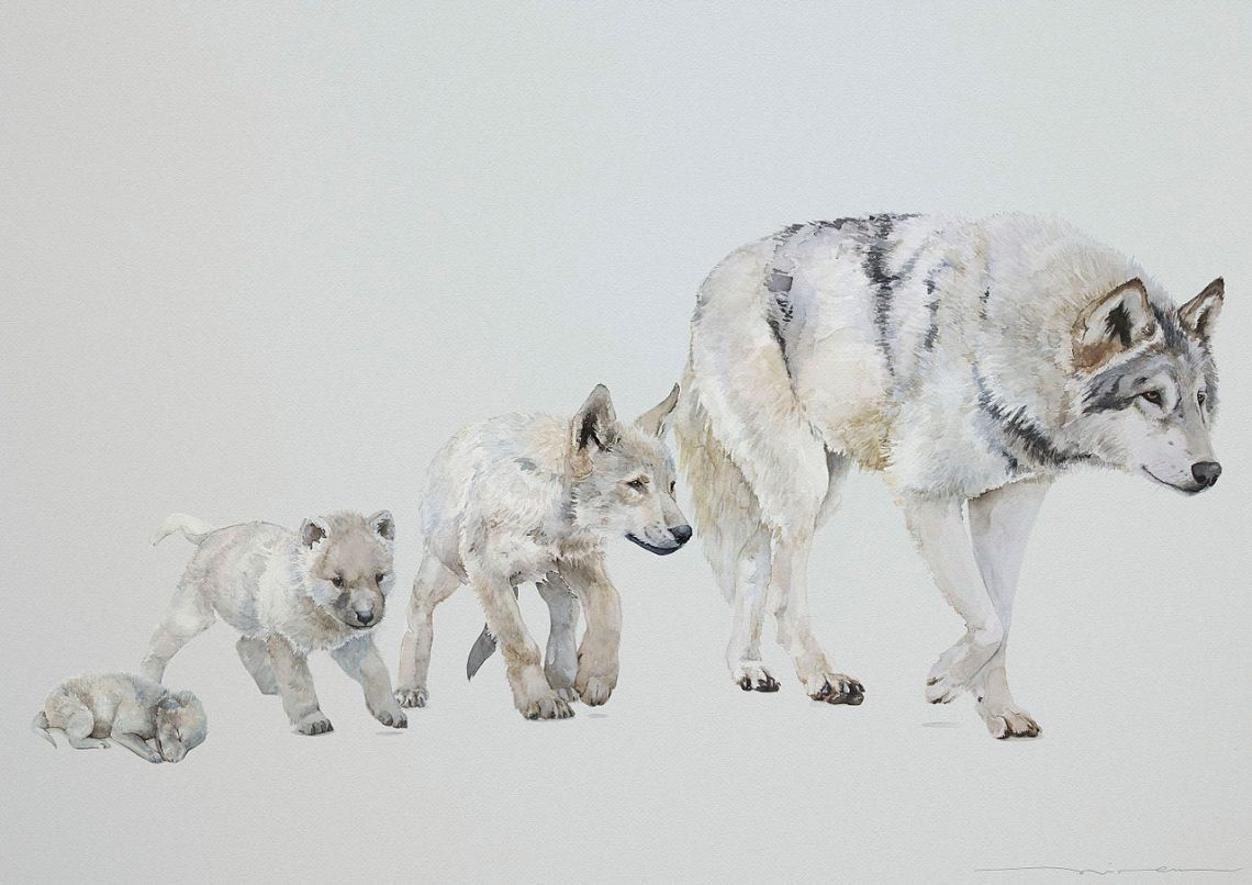 Canis_lupus_occidentalis_(Etapas_de_crecimiento)_-_Miren_Leyzaola