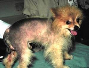 Un perro con pérdida de pelo por alopacia