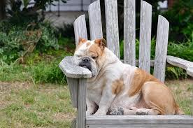 bull-durmiendo