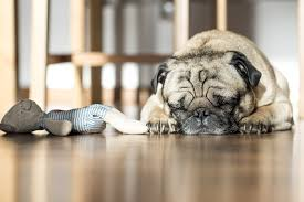 pug-durmiendo